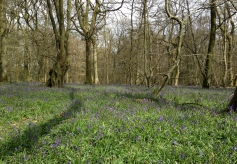 Blubells in the North Downs